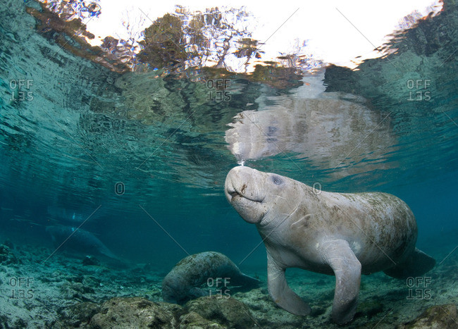 Manatee coming to surface - Offset