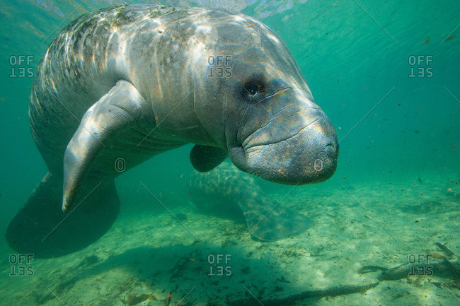 Florida Manatee from the Offset Collection