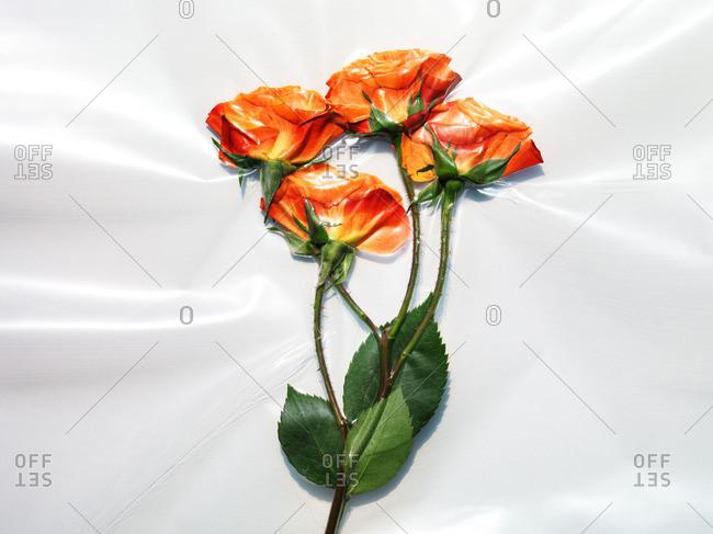 Vacuum sealed roses