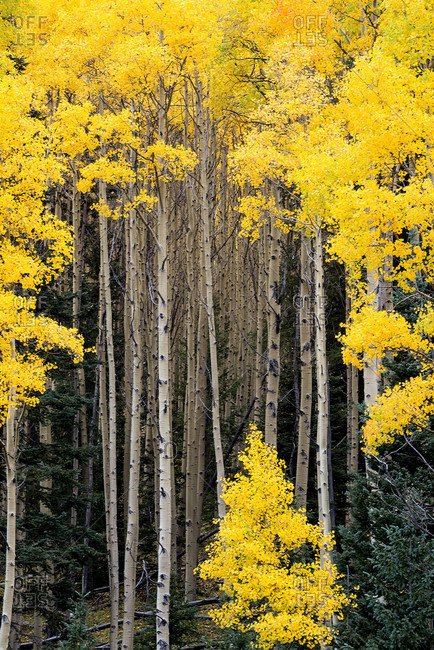 Beautiful aspen trees turn bright yellow during the fall along the Santa Fe National Forest Scenic Byway, New Mexico