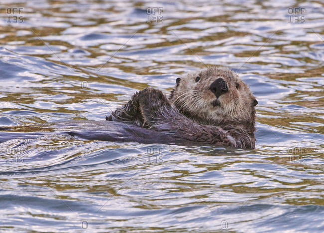Sea Otter floating near the puffins at Lake Clark NP