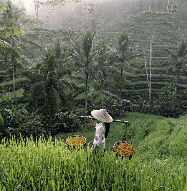 Young woman carrying baskets of temple flowers through rice terraces of Tegalalang, Indonesia