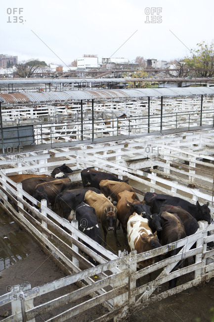 Buenos Aires, Argentina - May 31, 2016: Group of cows in small pen at Liniers Cattle Market, Buenos Aires