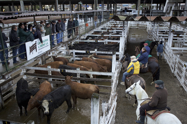 Buenos Aires, Argentina - May 31, 2016: Men on horseback examining livestock at the National Cattle Ranchers' Market, Buenos Aires