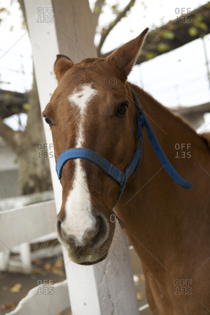 Portrait of horse in blue bridal