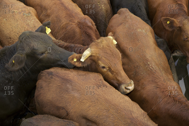 Cows crowded together in pen at Liniers Cattle Market