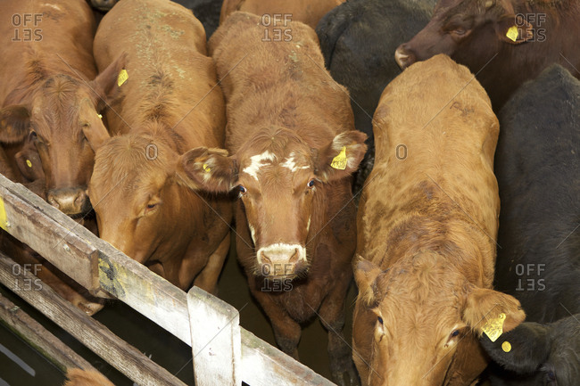 Cows waiting in pen at livestock market in Buenos Aires, Argentina