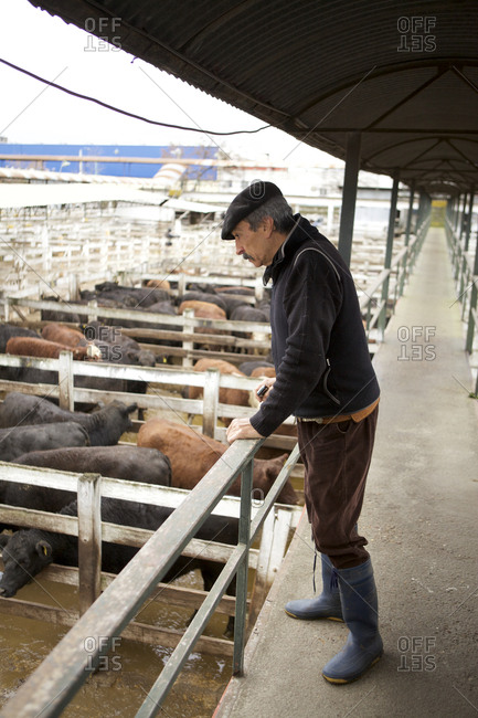 Buenos Aires, Argentina - May 31, 2016: Gaucho overlooking pens of cattle at Liniers Cattle Market, Buenos Aires