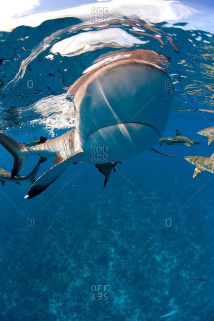 Blacktip reef shark approaches - Offset