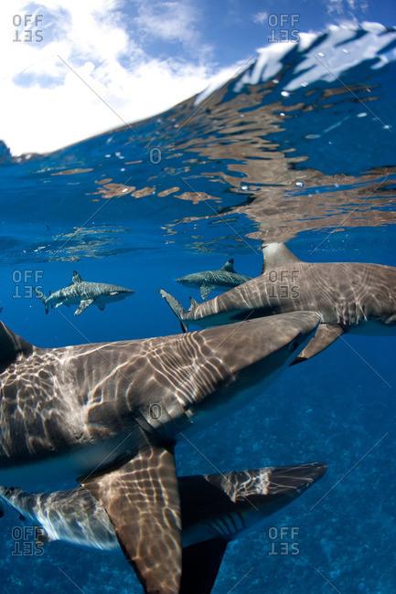 Blacktip reef sharks at surface