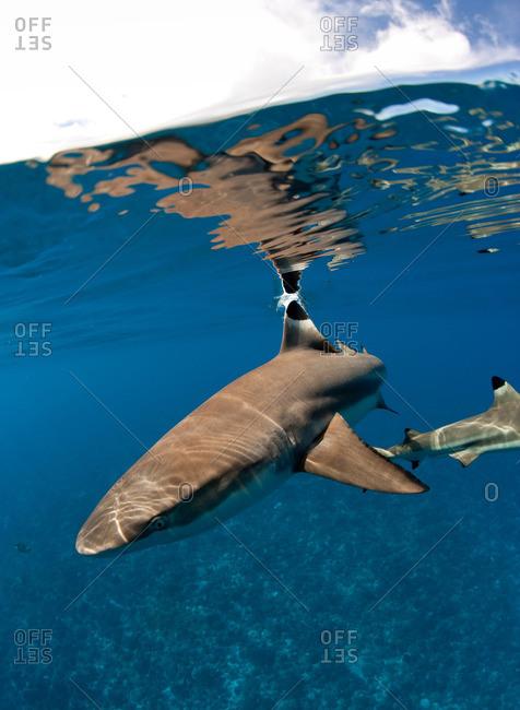 Blacktip reef shark - Offset Collection