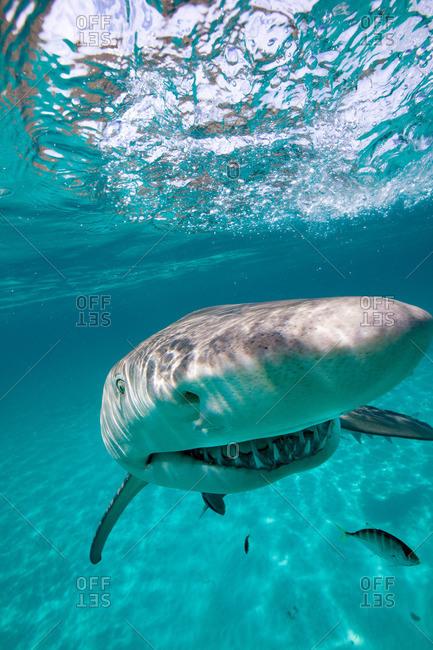 Grinning Lemon Shark - Offset Collection