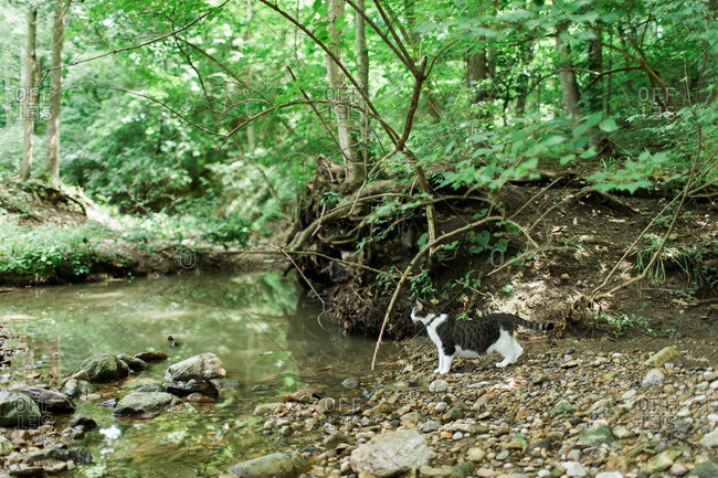 Cat at river's edge in forest