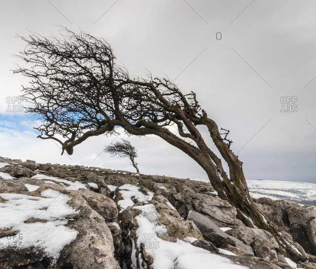 Twisted trees in Twistleton Scar End in snow, Ingleton, Yorkshire Dales, Yorkshire, England, United Kingdom, Europe