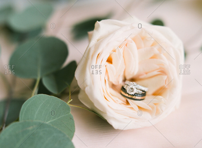 White rose with wedding rings