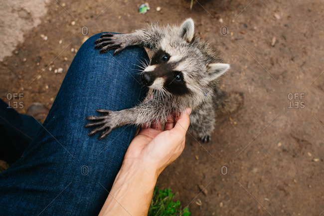 Young raccoon supporting itself on a woman's leg