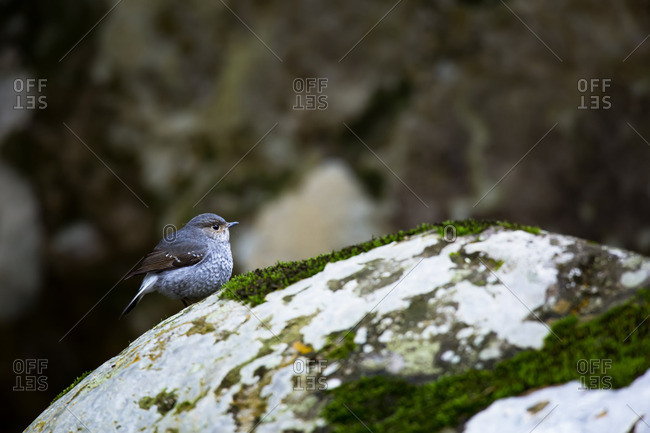 A Plumbeous Water Redstart sitting on a mossy rock in winter in Tamdao National Park, Vietnam