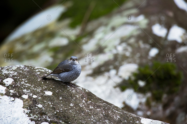 A Plumbeous Water Redstart perched on a mossy rock in winter in Tamdao National Park, Vietnam