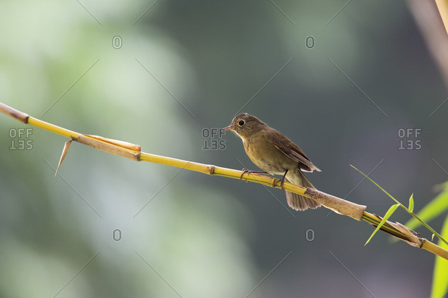 A female White-tailed Robin perched on a bamboo branch in Tamdao National Park, Vietnam