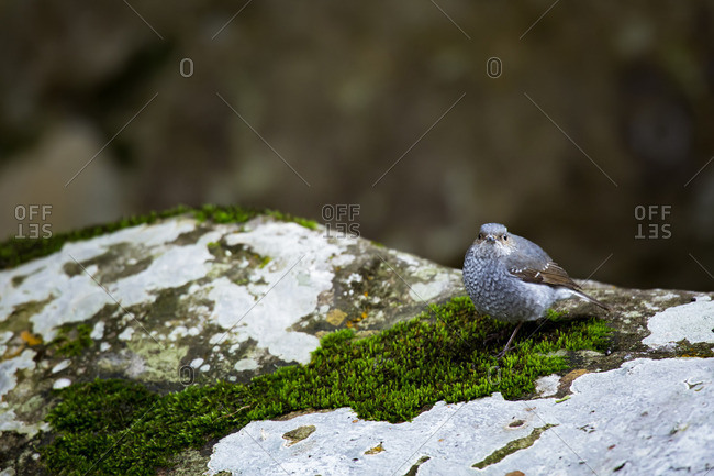 A Plumbeous Water Redstart on a mossy rock in winter in Tamdao National Park, Vietnam