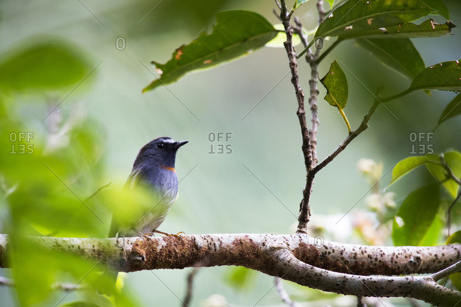 Rufous-gorgeted Flycatcher hiding himself in a tree canopy, Tamdao National Park, Vietnam