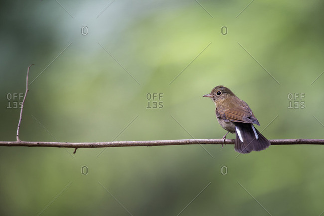 A female White-tailed Robin balanced on a branch in Tamdao National Park, Vietnam