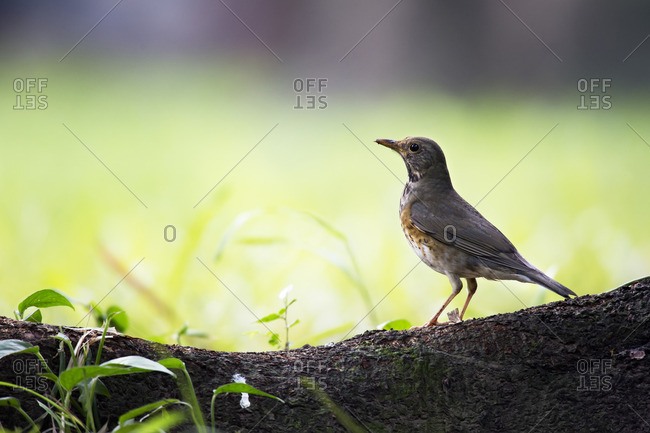 A female Japanese Thrush on a tree root in Tamdao National Park, Vietnam