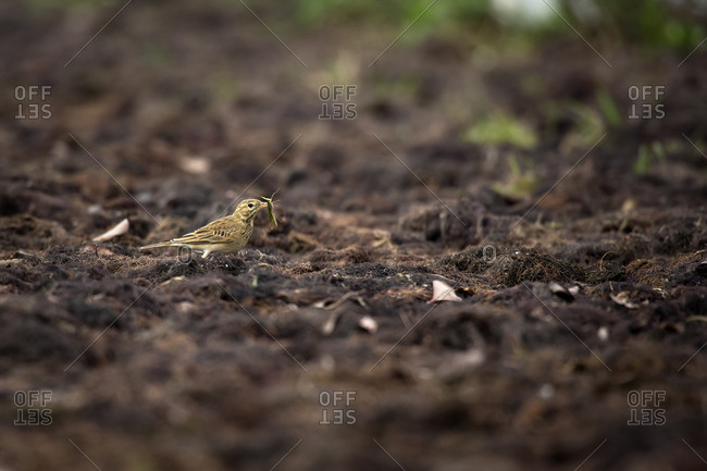 A Paddyfield Pipit catching a Grasshopper larger than its beak in Xuanthuy National Park, Vietnam