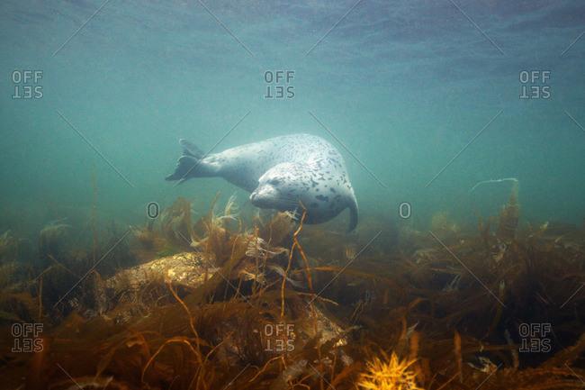 Spotted seal (Phoca largha), Sea of Japan