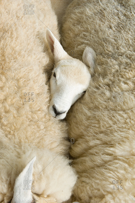 Overhead view of lambs head between two sheep