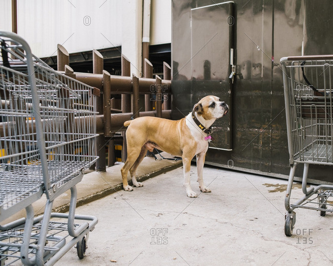 Dog standing outside in an area with shopping carts