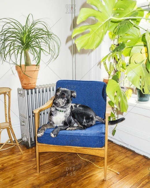 Catahoula leopard dog sitting in a chair