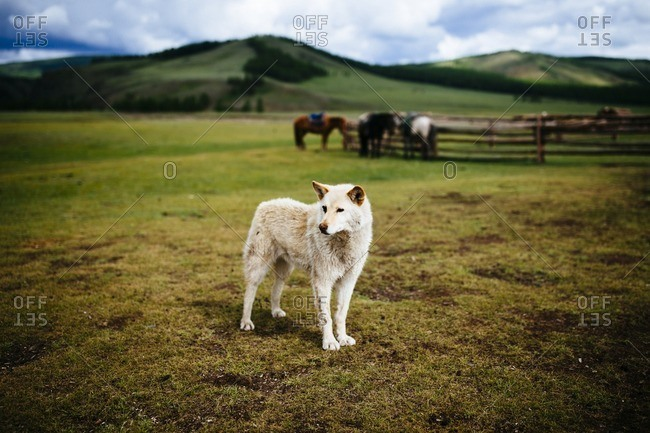 A guard dog on the open plains of Tsagaannuur in northern Mongolia