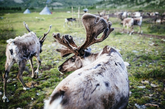 Domesticated reindeer graze near a small community of Tsaatan peoples in the East Taiga of northern Mongolia