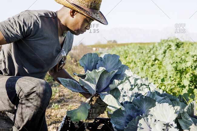 Farmer examining leaf vegetables on farm