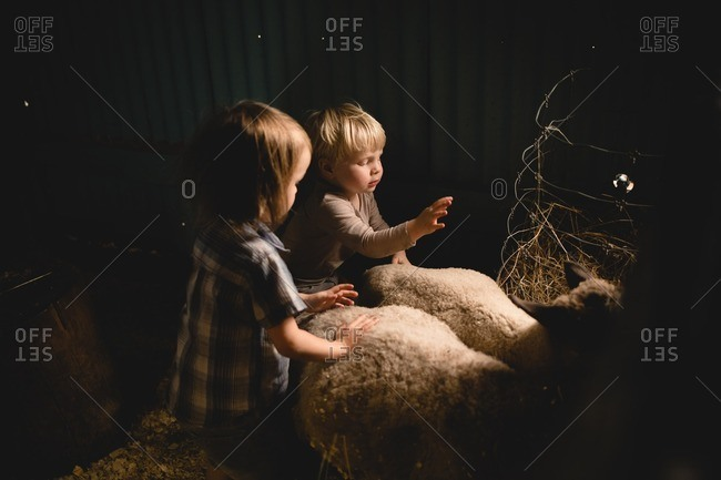 Toddler boys petting sheep in a shed