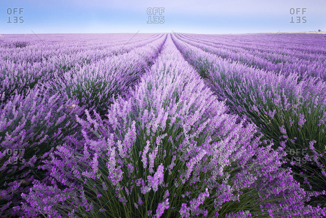France- Provence- lavender fields - Offset