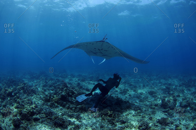 Underwater view of scuba diver looking up at a large stingray