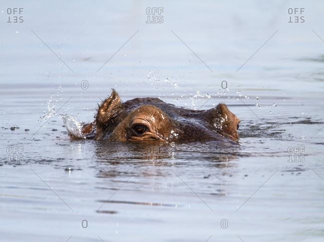 Hippopotamus head peaking above the water