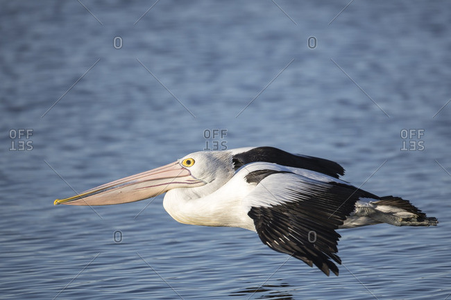 Pelican gliding over reflective blue water