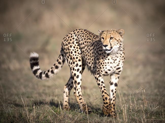 Lone cheetah walking gracefully over Masai Mara grassland