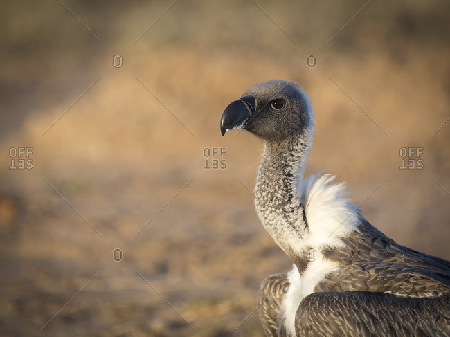 Portrait of white backed vulture