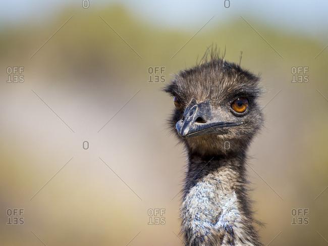 Portrait of Australian emu