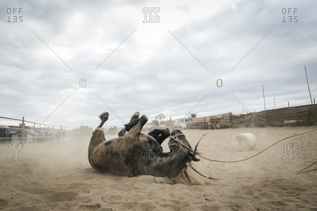 Horse rolling in sand in corral