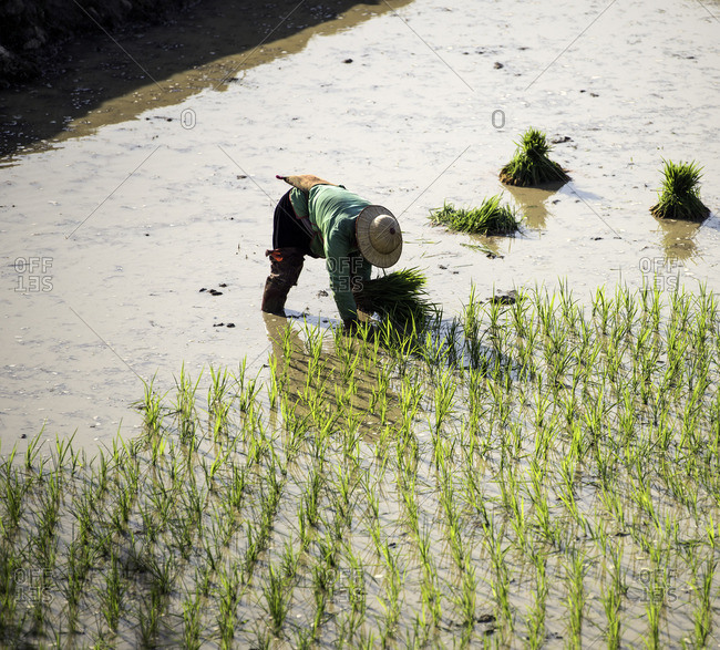Black Hmong farmer planting rice in  Sa Pa, Vietnam