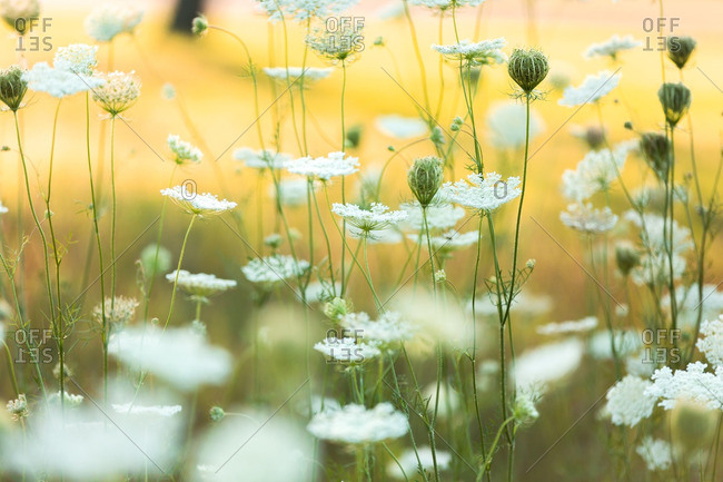A field of Queen Anne's lace wildflowers