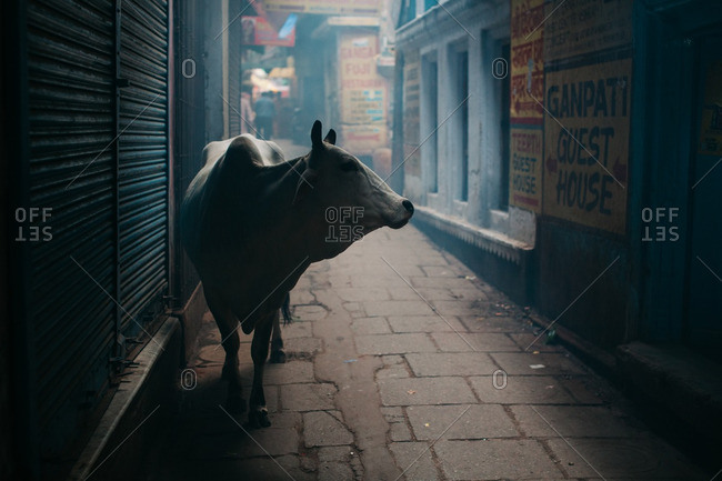 Water buffalo standing in a dimly lit alley