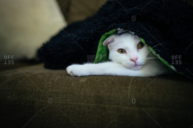 White cat peaking out from beneath a blanket