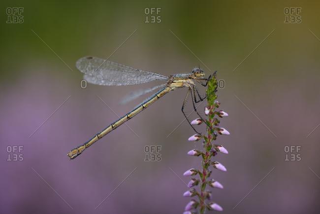 Emerald Damselfly- Lestes sponsa