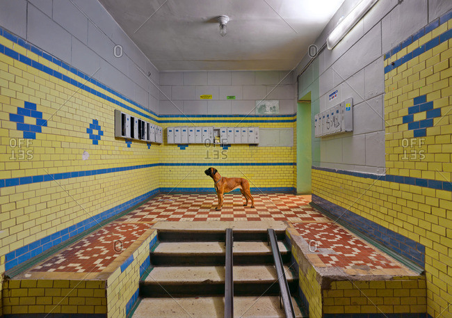 June 8, 2009: Boxer dog standing in an empty building lobby